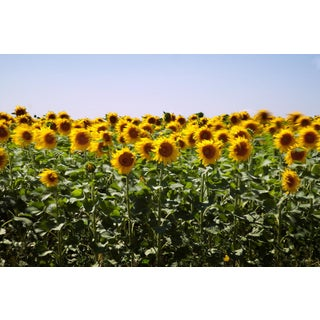 """Sunflowers 1"" Photography For Sale"