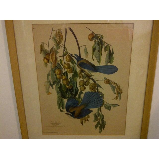 "Vintage ""Florida Jay"" Engraving Copy For Sale - Image 4 of 8"