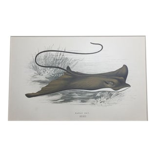 """1877 """"Eagle Ray"""" Chromolithograph Print by Jonathan Couch For Sale"""
