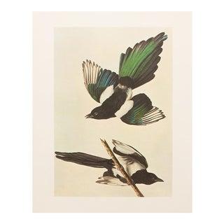 1966 Audubon American Magpie Lithograph