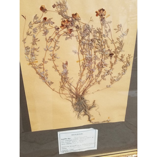 French Vintage French Decorative Framed Paris Botanical Herbier Specimens - a Pair For Sale - Image 3 of 6