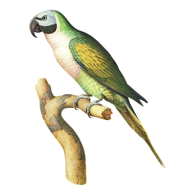 This is a beautiful vintage color lithograph of the Moustache Parakeet by LaRousse. This lithograph is approximately 8X11...