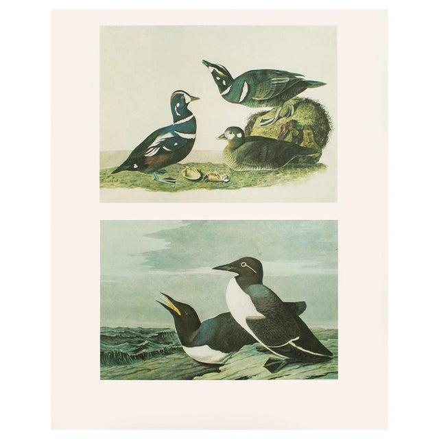 A stunning vintage reproduction of the original lithographic prints of Harlequin Duck and Common Murre by John James...