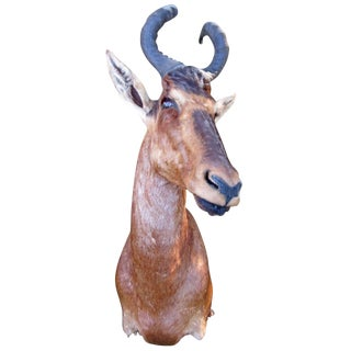 Antelope Taxidermy Head for Wall Mount For Sale