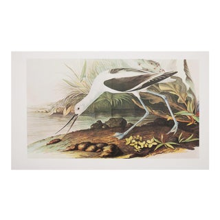 1966 XL Audubon Print of American Avocet