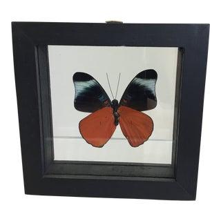 Shadow Box Framed Butterfly Specimen For Sale