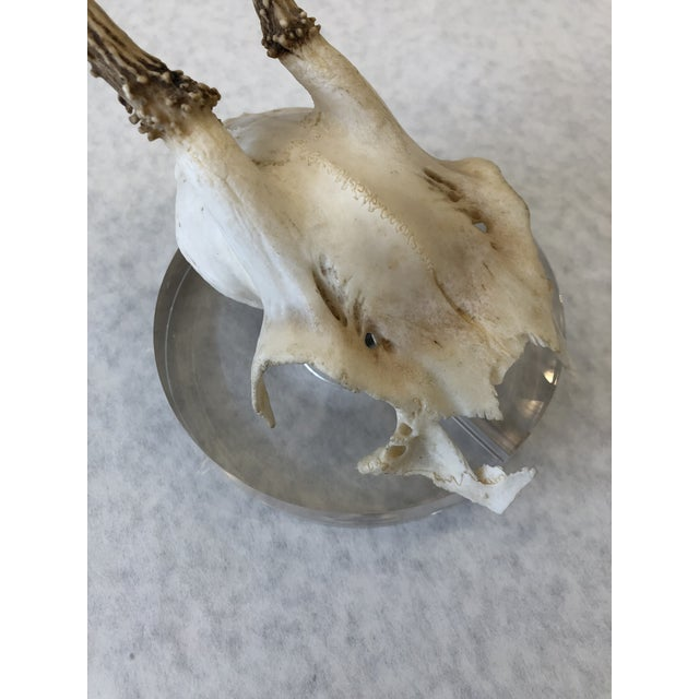 Goat Antlers Mounted on Lucite For Sale In New Orleans - Image 6 of 9