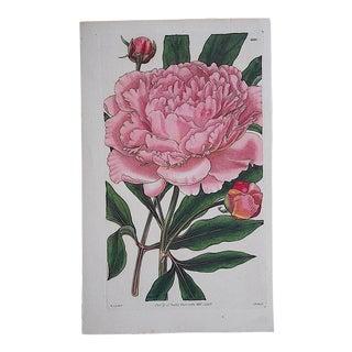 Antique Botanical Engraving-Chrysanthemum For Sale