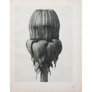 Karl Blossfeldt Double Sided Photogravure N65-66