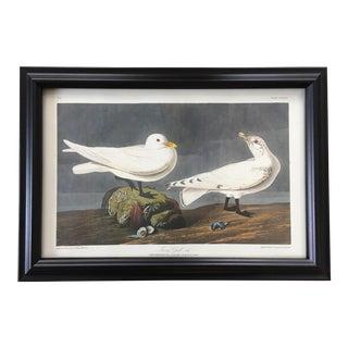 John James Audubon 'Ivory Gull' - No. 58