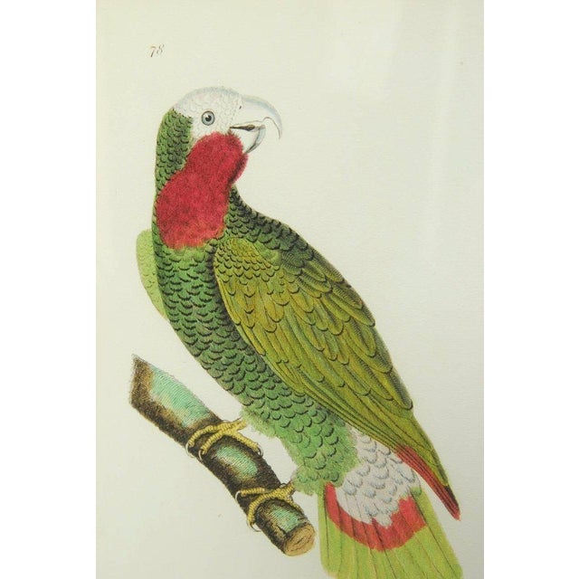 Victorian English Hand-Colored Ornithological Print of a Parrot For Sale - Image 3 of 13