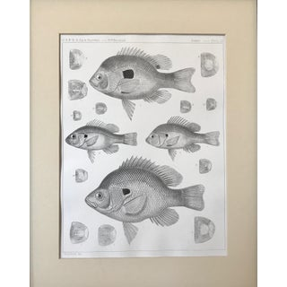 19th Century American Antique Lithograph of Fish Preview