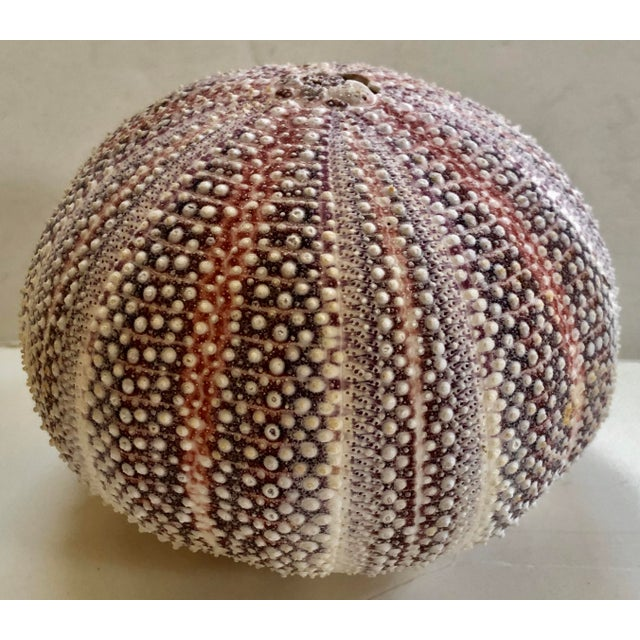1930s Sea Urchin Shell For Sale - Image 4 of 4