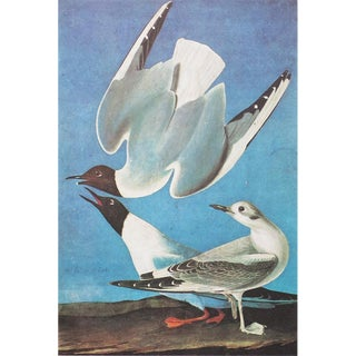 "1960s Cottage Style ""Bonaparte's Gull"" Lithograph by John James Audubon For Sale"