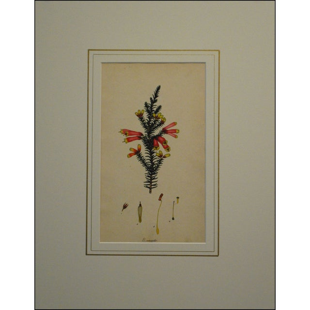 "Original heather print from Henry Andrews (1794-1830) monograph ""The Heathery."" Shown is the Cape Heath. Andrews was..."