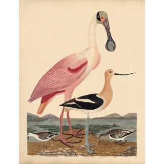 Early American Poster, Spoonbill and Shore Birds For Sale