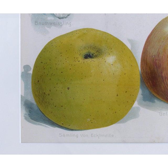 European Botanical Prints of Fruit & Birds - Set of 4 For Sale - Image 4 of 7