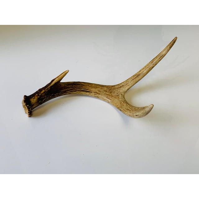 Beige Naturally Shed Deer Antlers - a Pair For Sale - Image 8 of 10