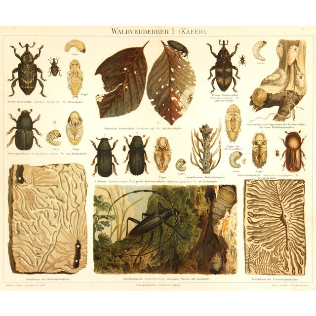 Antique 1894 Beetles Insect Print - Image 1 of 3