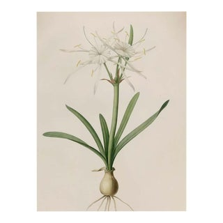 Pancratium Disciforme Hand Colored Engraving Signed p.j. Redoute & Numbered For Sale