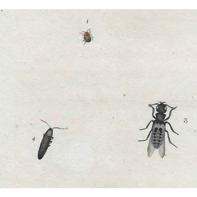 English Antique Insect Engraving For Sale - Image 4 of 4