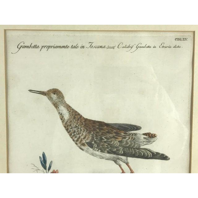 Late 18th Century Calidris Gambetta Bird Print by Saverio Manetti For Sale - Image 4 of 6