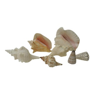 Collection of Coastal Large and Small Sea Shells For Sale
