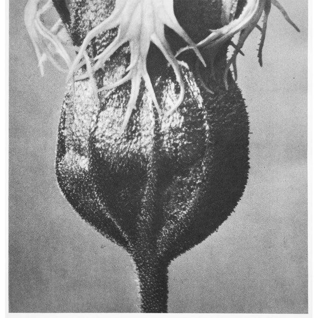 1935 Karl Blossfeldt Photogravure N74-73 For Sale - Image 4 of 12