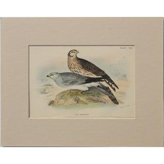 "1890 ""Hen Harrier"" Original Chromolithograph For Sale"