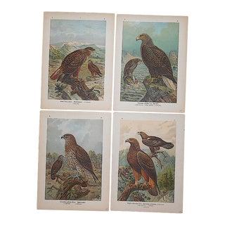 Antique Lithographs-Birds of Prey-Set of 4 For Sale