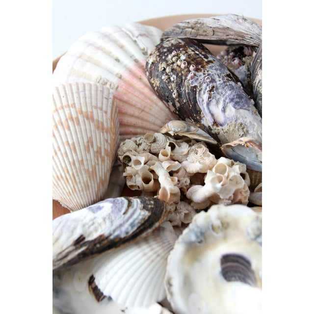 Vintage Sea Shell Collection - Set of 25 - Image 3 of 6