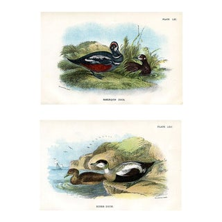 Antique Duck Prints, 1896, Pair of Original Lithographs For Sale