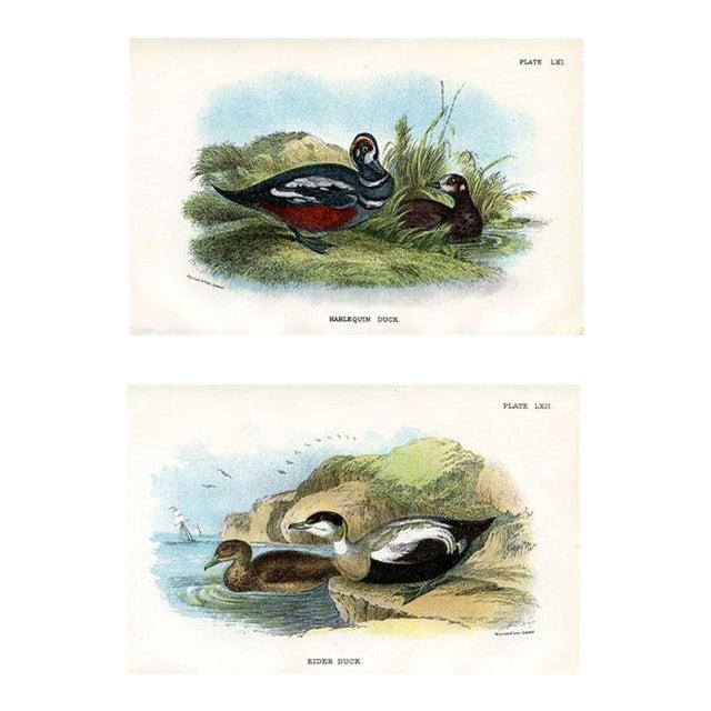 Antique Duck Prints, 1896, Pair of Original Lithographs For Sale