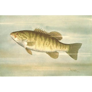 Antique Fish Print, Bass, Small Mouth Black Bass, 1909, Matted For Sale