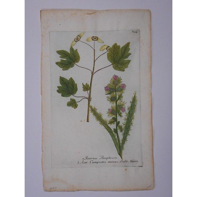 Johann Weinmann Botanical Mezzotint C.1740-Folio Size - Image 3 of 3