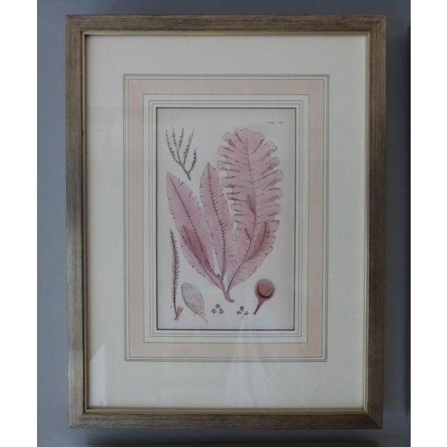 Antique Seaweed Engravings - Set of 8 - Image 8 of 8
