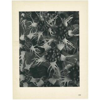1928 Karl Blossfeldt Original Period Photogravure N120 of Ballota Acuta For Sale