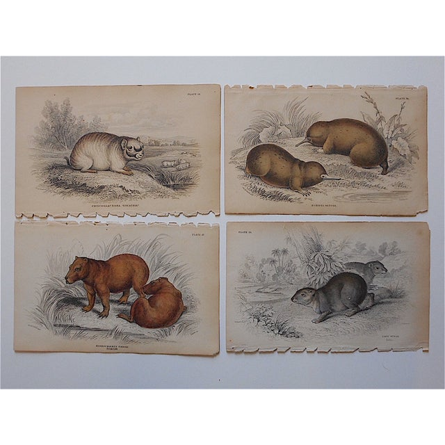 These four hand colored engravings depict several varieties of unusual looking mammals. They were printed in England...
