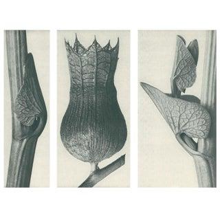 1928 Karl Blossfeldt Original Period Photogravure N59 of Aristolochia Clematitis For Sale