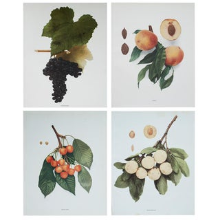 1900s Fruits of New York by U. P. Hedrick, Original Photogravures - Set of 4 For Sale