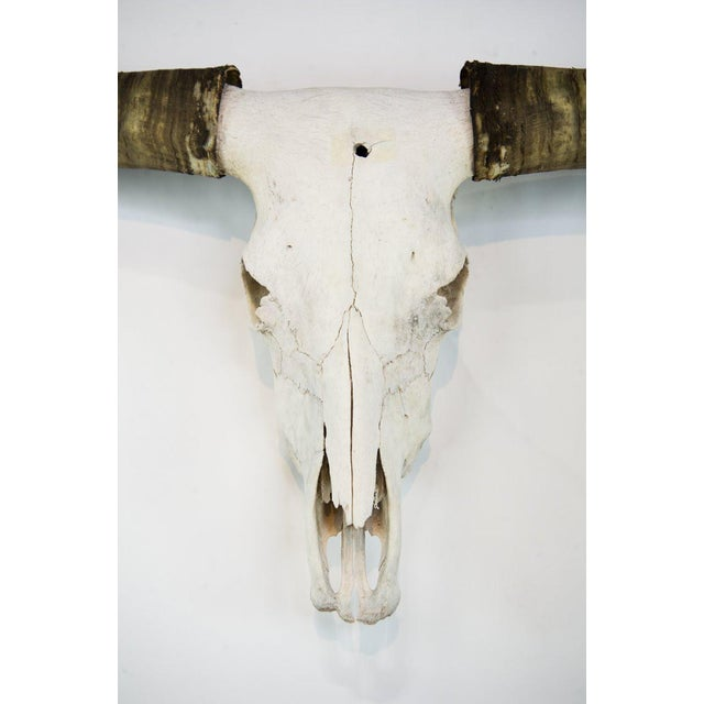 Make a big statement over your mantle with this impeccable vintage Texas Longhorn Skull Mount. This skull is in pristine...