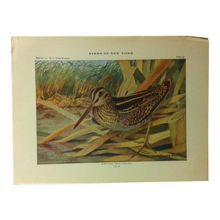"""1925 """"Wilson's Snipe"""" the State Museum Birds of New York Print For Sale"""