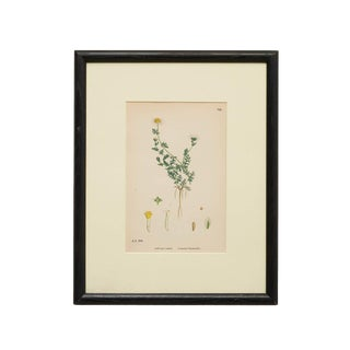 """England 19th Century """"Botanical of Common Chamomile"""" Print For Sale"""
