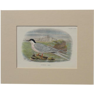 1890 Roseate Tern Original Chromolithograph