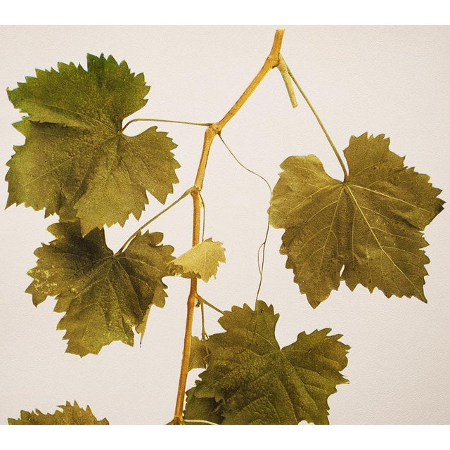 1900s Original Grapes Photogravures by Hedrick - Set of 2 For Sale - Image 4 of 10