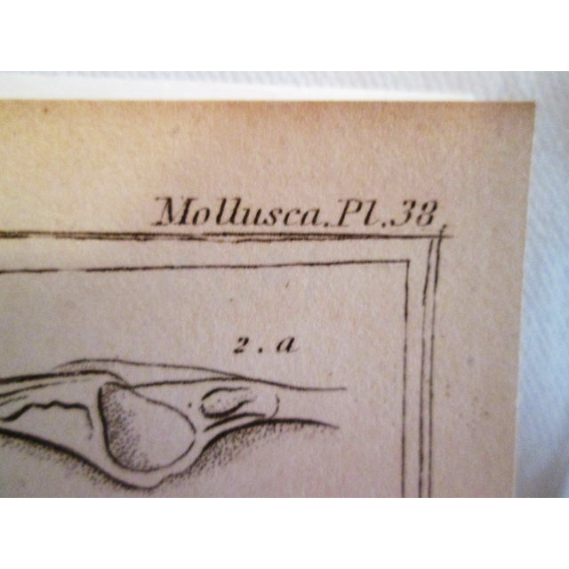 Shell Engravings, C. 1840 - Pair - Image 11 of 11