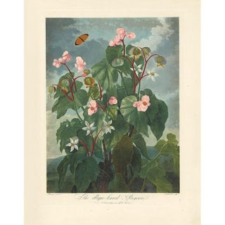 Thornton Pl. 15, the Oblique-Leaved Begonia Print For Sale