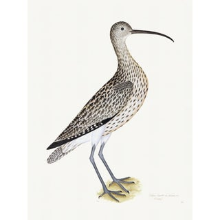 Eurasian Curlew Plate 35 by Olof Rudbeck (Cfa-Wd) For Sale