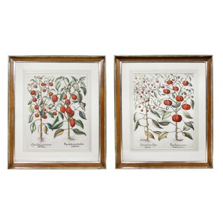 """Tomatoes"" Botanical Engravings by Basilius Besler - a Pair For Sale"