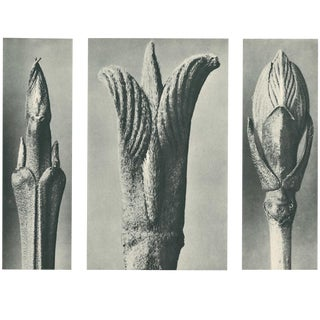 1928 Karl Blossfeldt Original Period Photogravure N10 For Sale